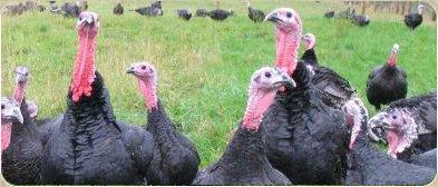 turkeybanner2